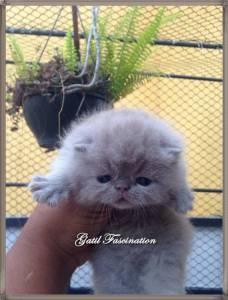 Gatos Exotic Shorthair Filhotes Selecionados