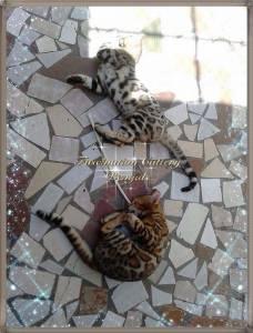 BENGAL - Filhotes Selecionados Á Venda