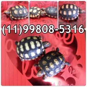Tartaruga de terra - animal de estimação
