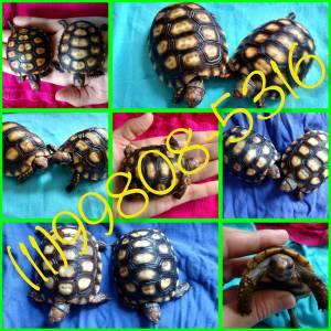 Jabuti - Sem pêlos sem barulho e um lindo animal