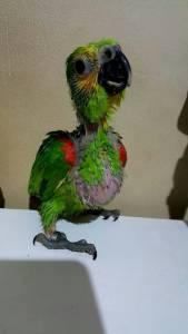 Papagaio Filhote Legalizado