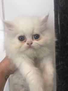 gato persa bco lindo itaquera