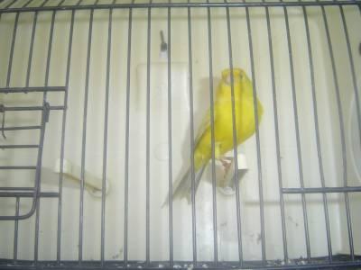Canários Opalas Amarelos