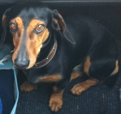 Cão Teckel desaparecido de Azeitão