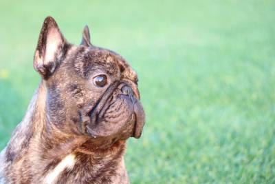 Bulldog Francês para montas