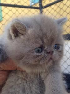 Gatos Exóticos Pêlo Curto Filhotes Selecionados