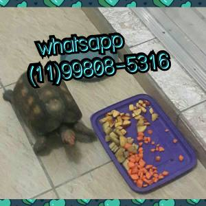Tartaruga de terra - filhotes jovens ou adultos