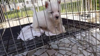 Schnauzer shihtzu westie terrier disponível