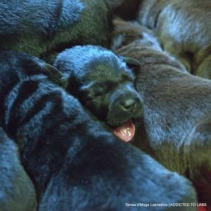Terras d Moga Labradors