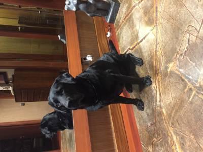 Labrador preto macho procura fêmea