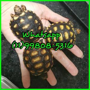 Tartaruga macho ou fêmea disponível