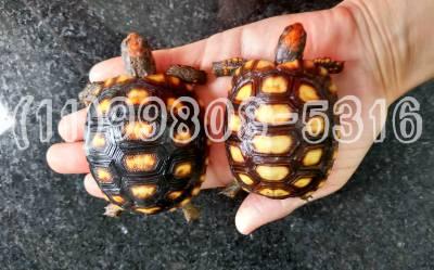 Bebe jabuti - fêmea ou macho disponíveis em SP