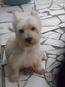 Schnauzer mini shihtzu e westie terrier