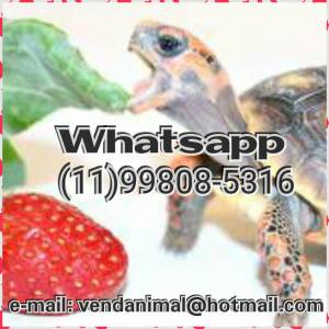 Animal de estimação - jabuti de presente