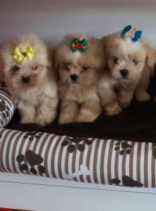 venda de filhotes de lhasa apso