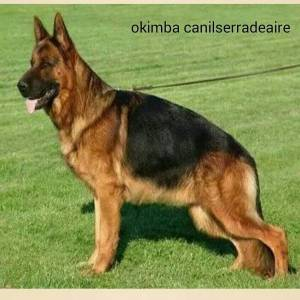 pastores alemaes de alta qualiadde - com pedigre