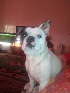 Bulldog francês para acasalamento