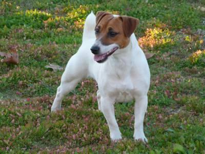 Jack Russell Terrier Progenitora