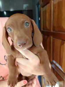filhotes dachshund teckel salsicha cofap base