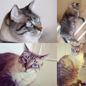 Perdeu-se gato cinzento claro de olhos azuis