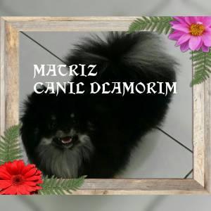 Yorkshire Terrier LULU DA POMERANIA SHIHTZU