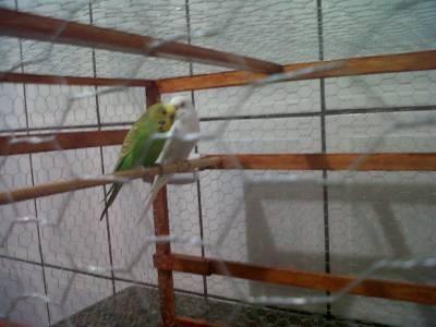 Gaiola viveiro com casal de periquitos