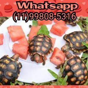 Tartaruga terrestre a pronta entrega em SP
