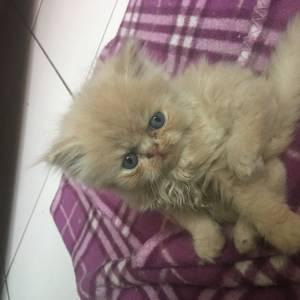 lindos gatos fofos persas zleste