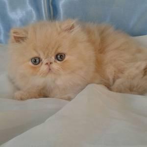 gatinhos persas verdadeiros bibelos