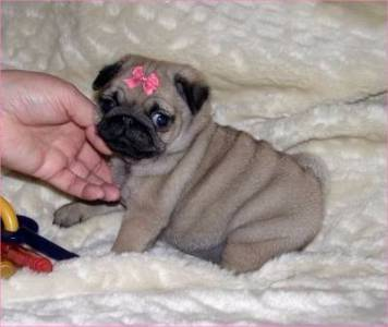 Pug Abricot