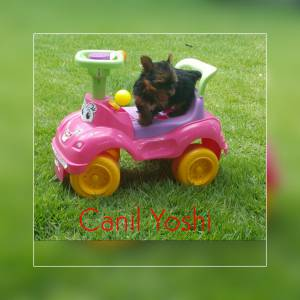 Yorkshire Terrier macho Canil Yoshi entrega imedia