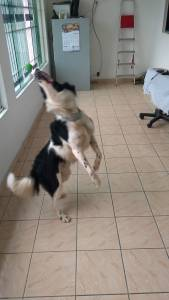 Border collie virgem Pedigree para cruzar Macho