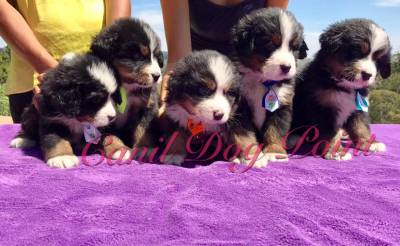Bernese Mountain - Padrao Show com Pedigree