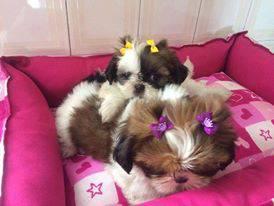 lindos filhotes de shih tzu com pedigree e vacina