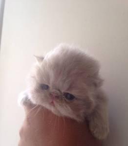 Gatinhos Persas Lilases - Cores Raras
