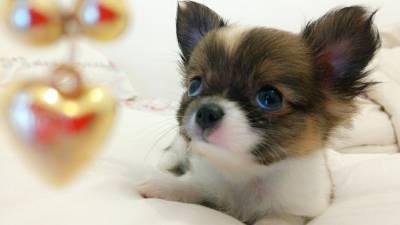 Chihuahua pelo longo micro
