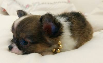 Chihuahua tricolor pelo longo micro