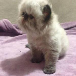 Gatos Persas Colorpoint Olhos Azuis