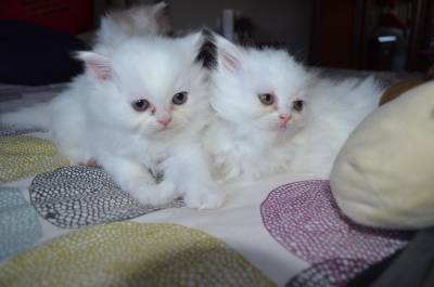 Preciiosa camada Gatos Persas