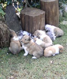 Lindos filhotes de Collie pelo longo