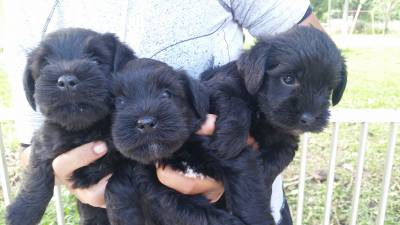 lindos filhotes de schnauzer mini preto Seropedica