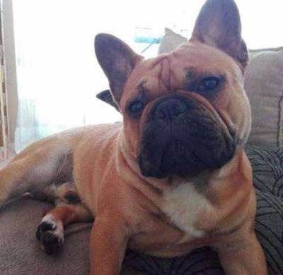 Bulldog Frances Fawn disponível para monta