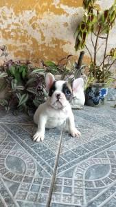 bulldog françes