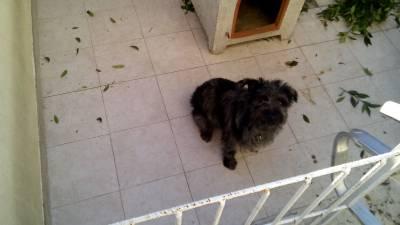 Cachorro cruzado de labrador