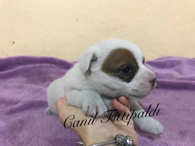 Filhotes de Jack Russell Terrier Canil Fittipaldi