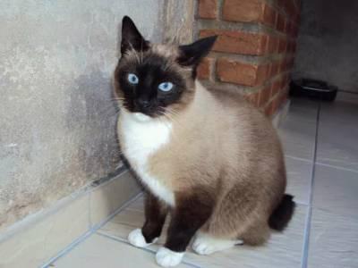 Gato mestiço de Siamês desaparecido