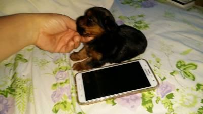 Filhote Yorkshire Terrier Mini Macho