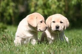 Labrador Amarelo Lindos Filhotes Garanta já o seu