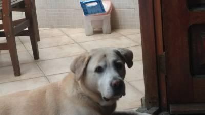 Labrador Amarelo perdido
