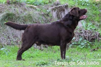 Labrador Chocolate disponível para cruzas